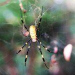 Nara Park - pająk Nephila clavata