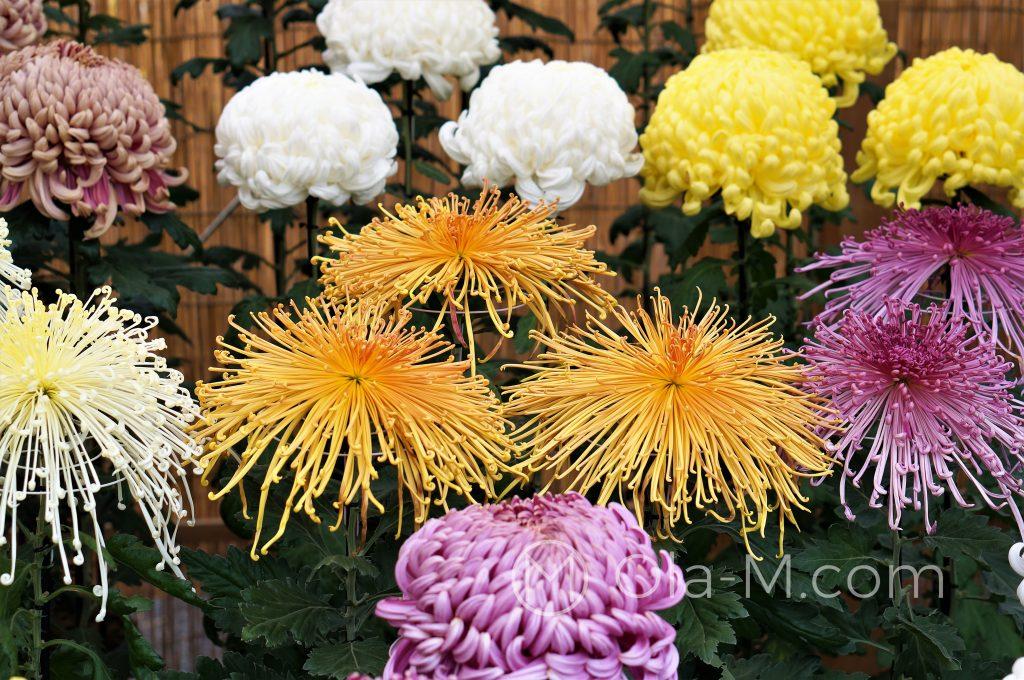 Japonia - chryzantemy, symbol rodziny cesarskiej