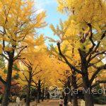 Tokio - piękne jesienne drzewa w dzielnicy Sumida
