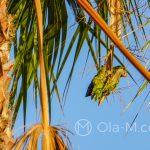 Zielona papuga na plaży Pedregalejo