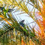 Te zielone papugi nie są do końca całkiem zielone, bo na rozpostartych skrzydłach są też odcienie niebieskiego
