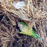 W koronie palmy papugi znajdują schronienie - nie jesteśmy pewni, czy są tam ich gniazda