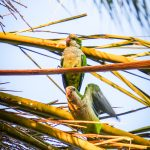 Zielone papugi na plaży Pedregalejo - setki, a może nawet tysiące zielonych pierzastych i hałaśliwych ptaszków