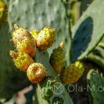 Malaga - ogród botaniczny - owoce kaktusa, wersja żółta
