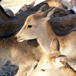 Nara - święte daniele, wysłannicy bogów
