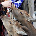 Nara - ...ale bezpardonowo domagają się swoich krakersów
