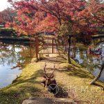 Nara Park - wprawdzie nie jeleń na rykowisku, ale za to daniel na grobli