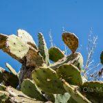 Marsylia - Frioul - Ratonneau - jeszcze więcej kaktusów...