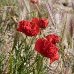 Marsylia - Frioul - Ratonneau - wysepka jest kamienista i jałowa, a mimo to obradzają na niej przepiękne kwiaty