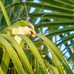 Z naszych obserwacji wynika, że papugi żywią się owocami palm rosnących wokół promenady