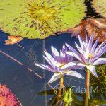 Malaga - ogród botaniczny - lilie w oczku wodnym