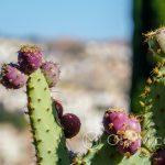 Malaga - ogród botaniczny - owoce kaktusa, wersja bordowa