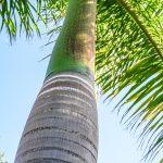 """Malaga - ogród botaniczny - ciekawa palma, przez naszą rodzinę nazwana """"palmą wazonikową"""" :-)"""