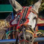 Biała wioska Mijas - osiołek ciągnący wózki z turystami